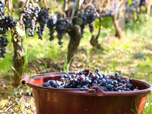 vignobles-sud-gironde-vendanges